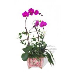 Amethyst Phalaenopsis Orchid
