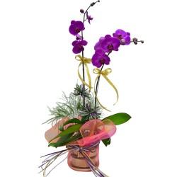 2pcs Taiwan Orchids